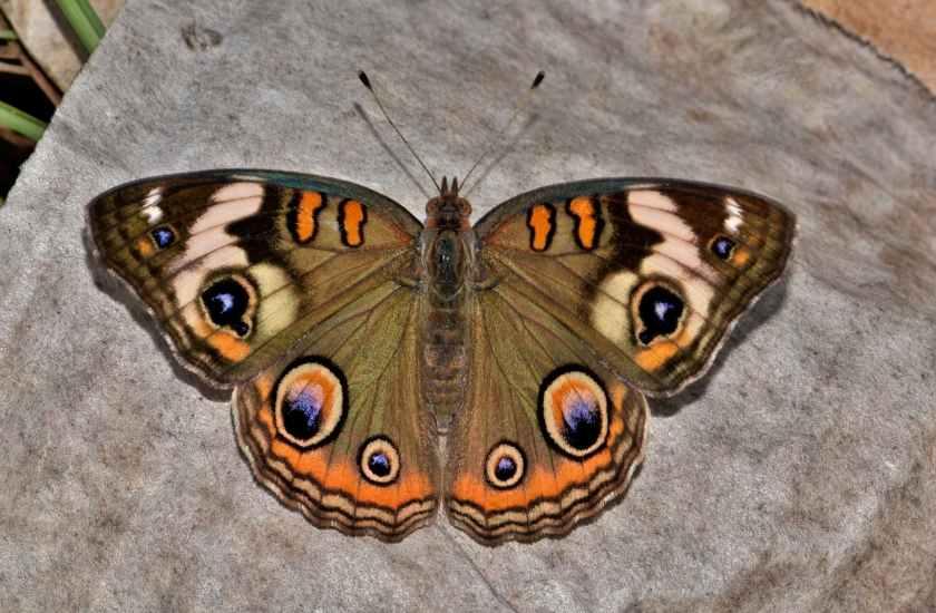 butterfly-common-buckeye-insect-eyes-158048.jpeg