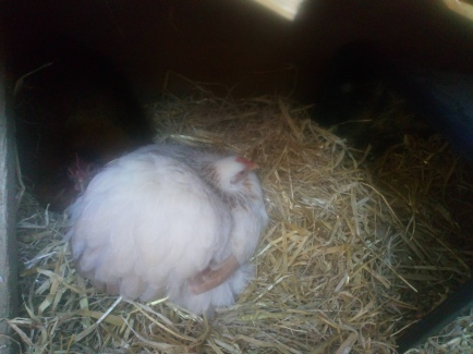 Jemima and Florence (behind) in the nesting area