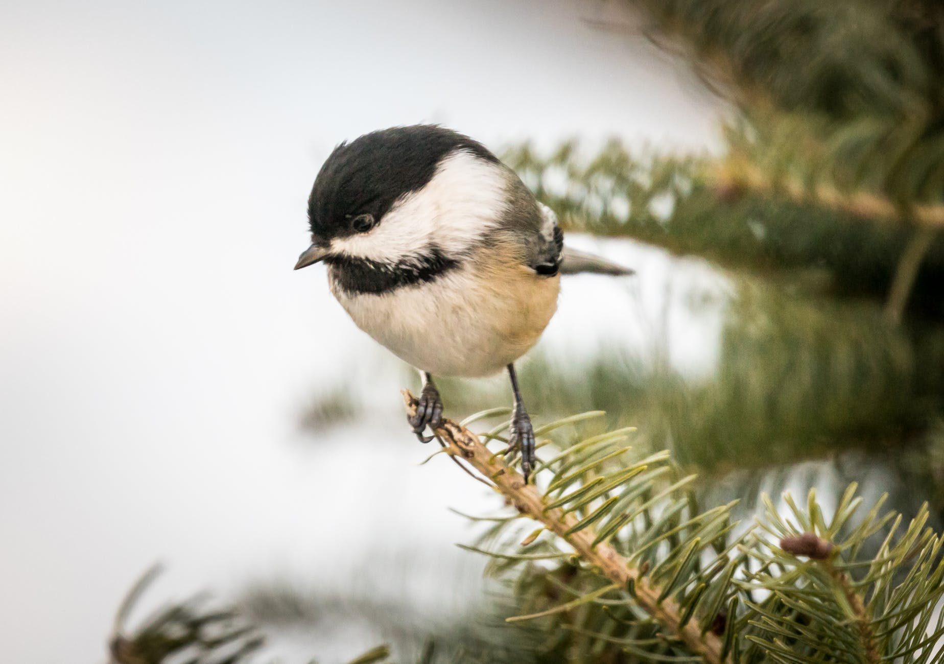 great tit perched on branch
